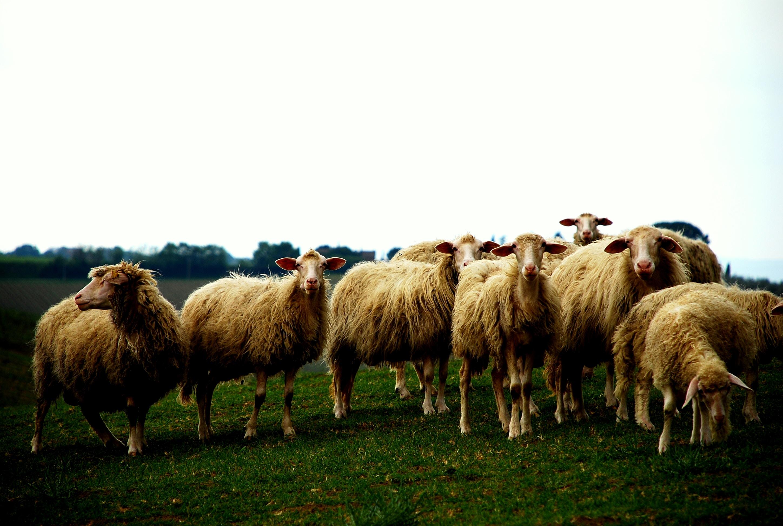 A farmer has 895 sheep. sheep-joke stories