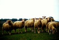 herd of sheep on grassfield