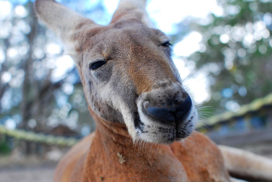 Macro of a kangaroo's head