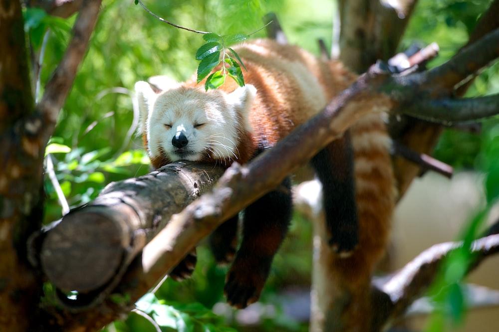 red panda lying on brown tree branch