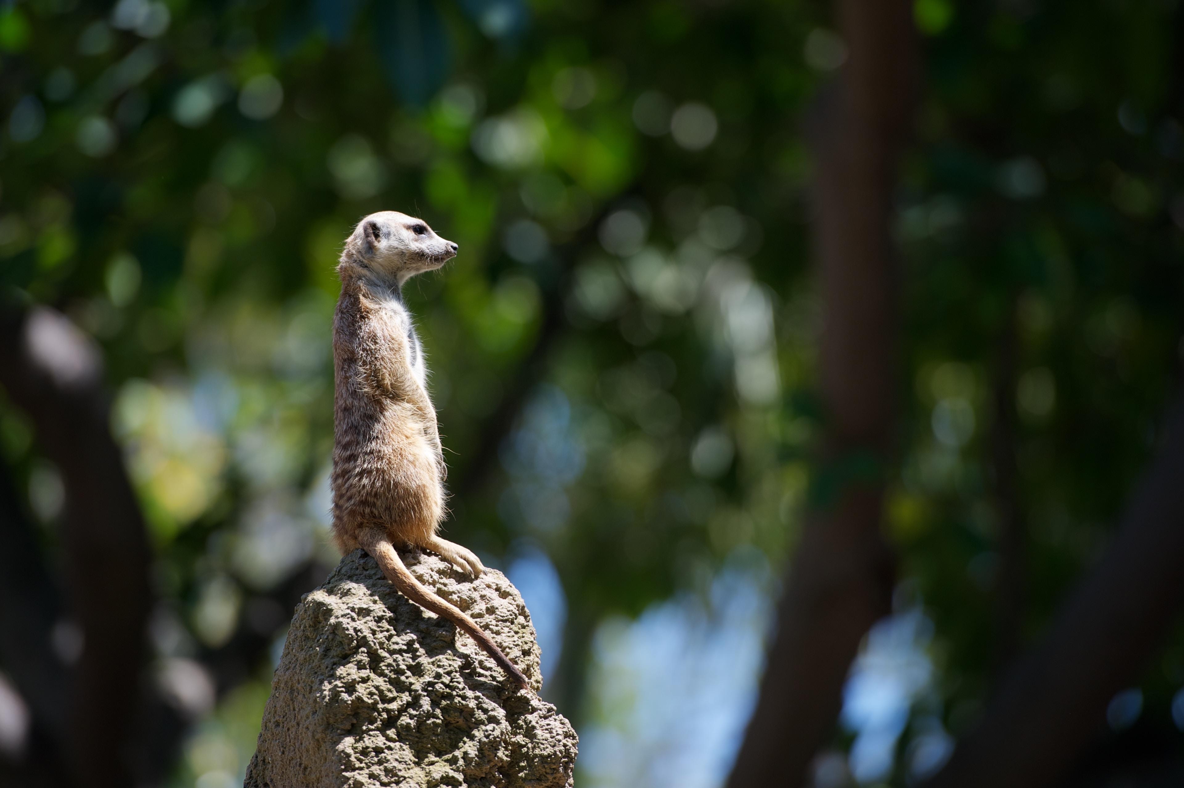 meerkat standing on gray stone selective focus photography