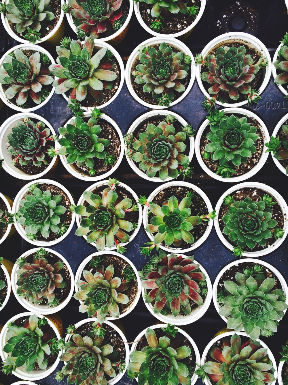 green succulent plant lot on white flowerpots