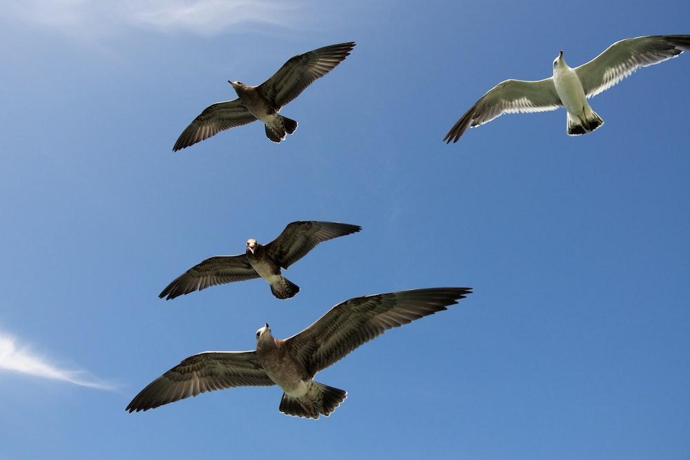 four flying gull birds