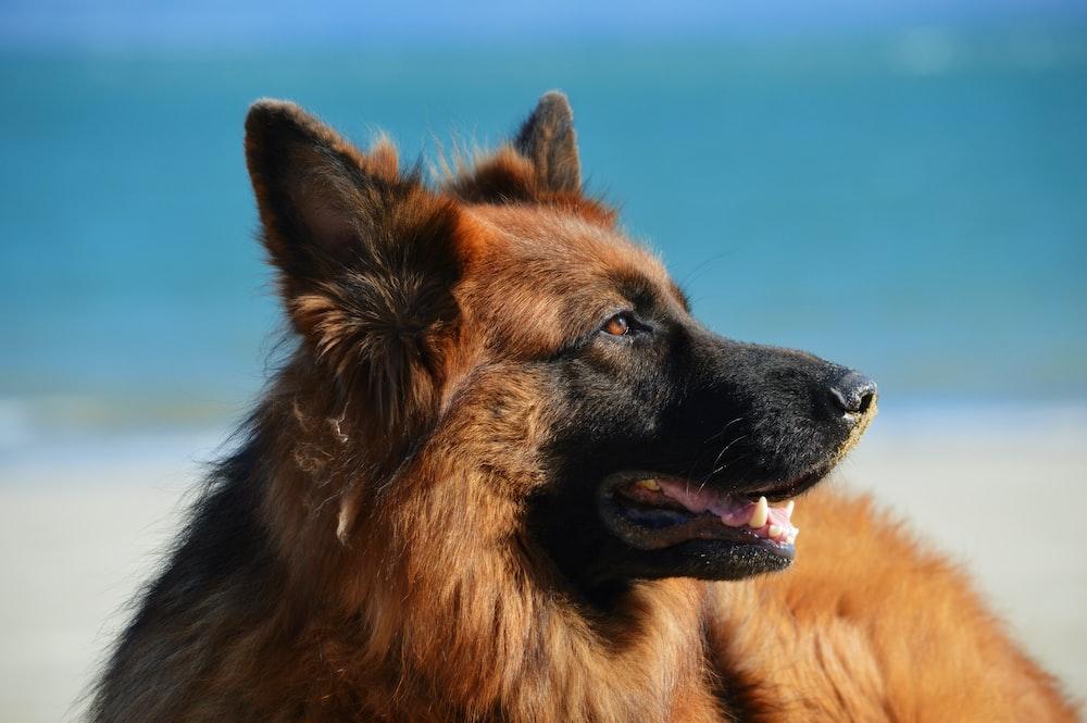 adult tan and black German shepherd