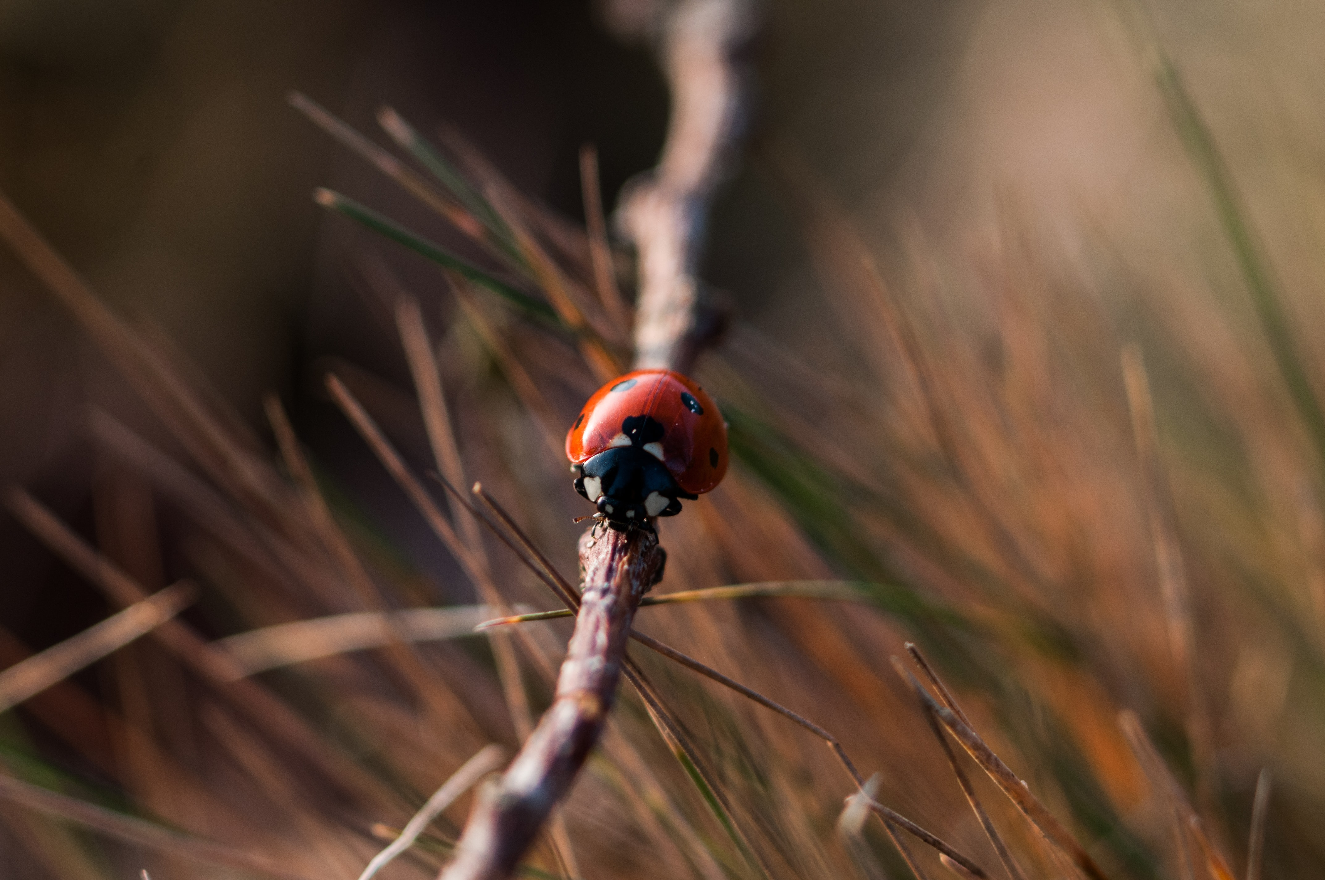 red 7-spotted ladybird on gray wooden tree branch closeup photography