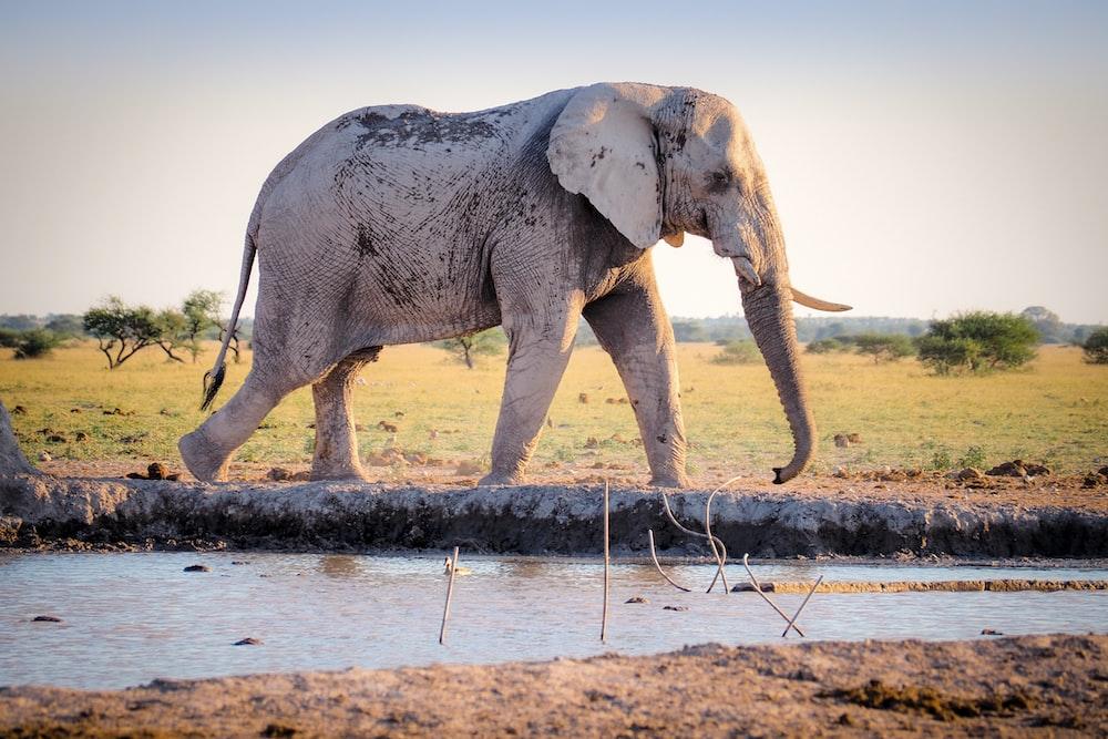 gray elephant walking near river during daytime