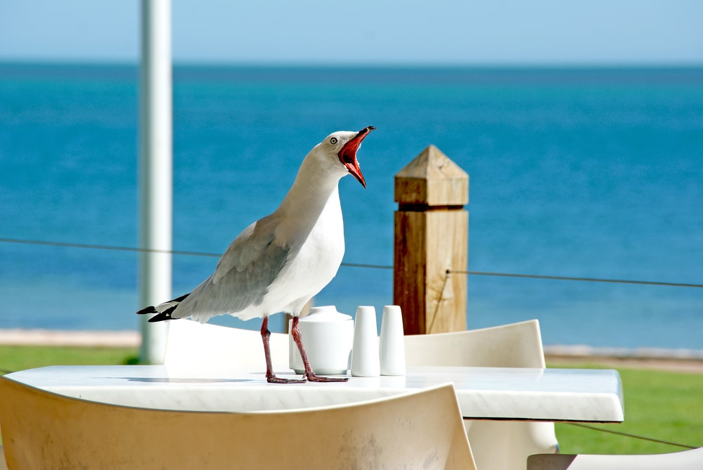 white bird opening mouth while standing on table