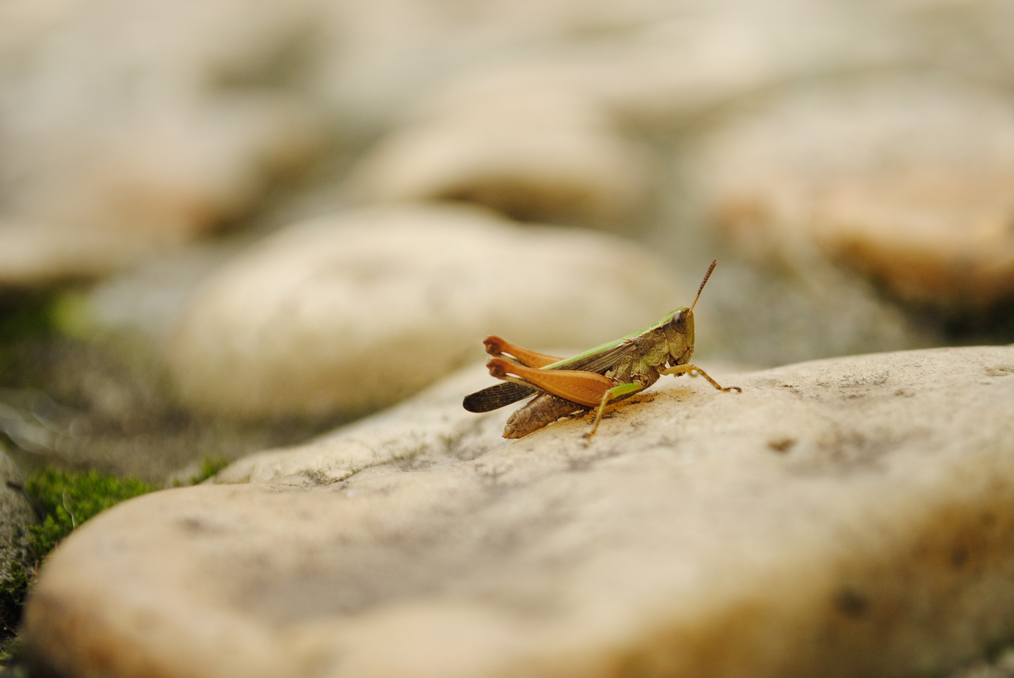 Grasshopper perched on a slab of stone