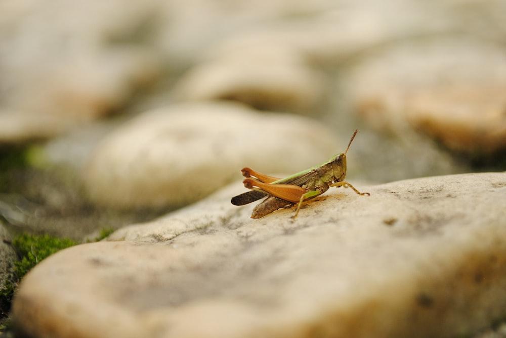 brown grasshopper selective focus photography