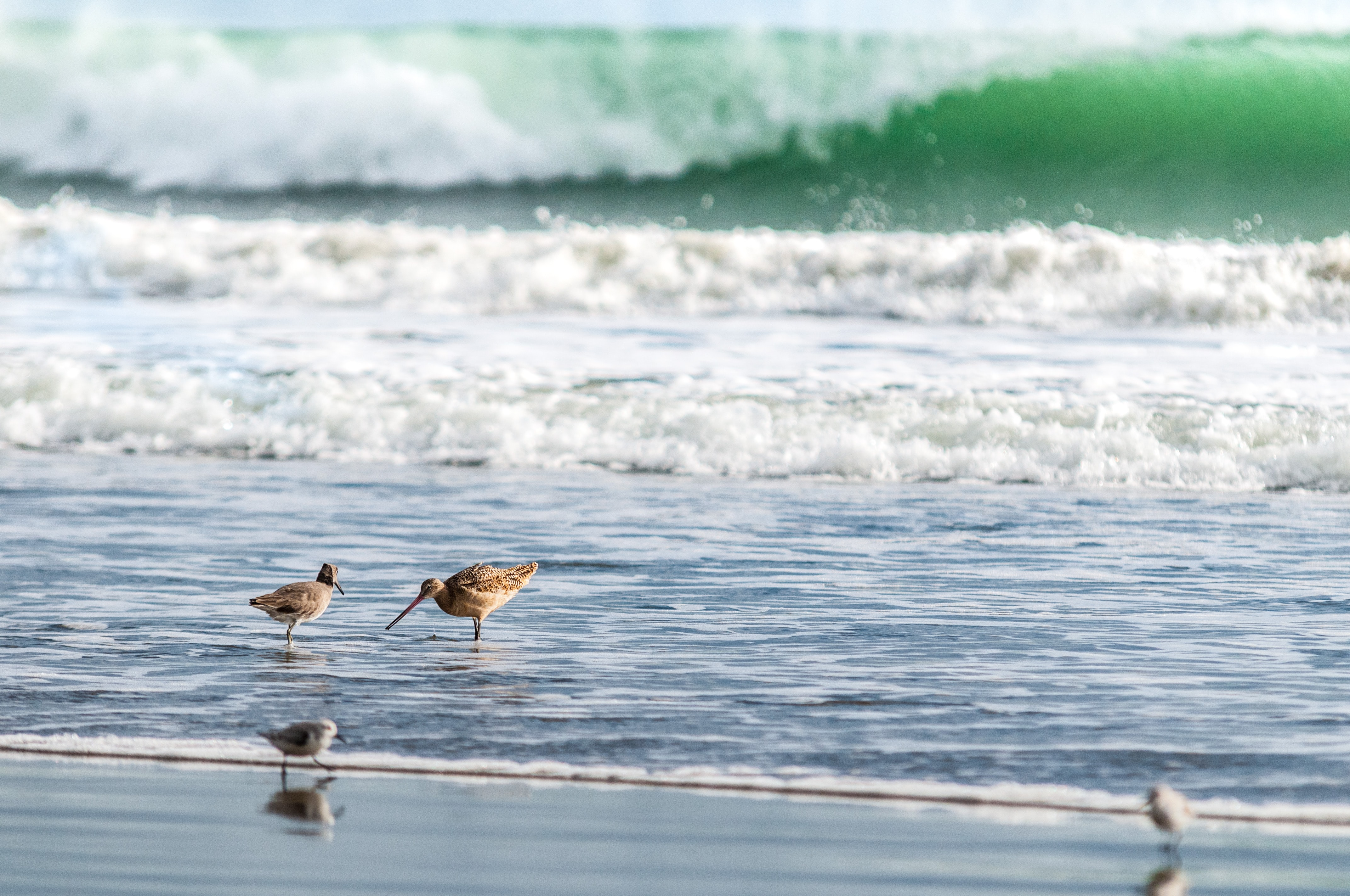 Sandpipers looking for food in the shallow water on a beach