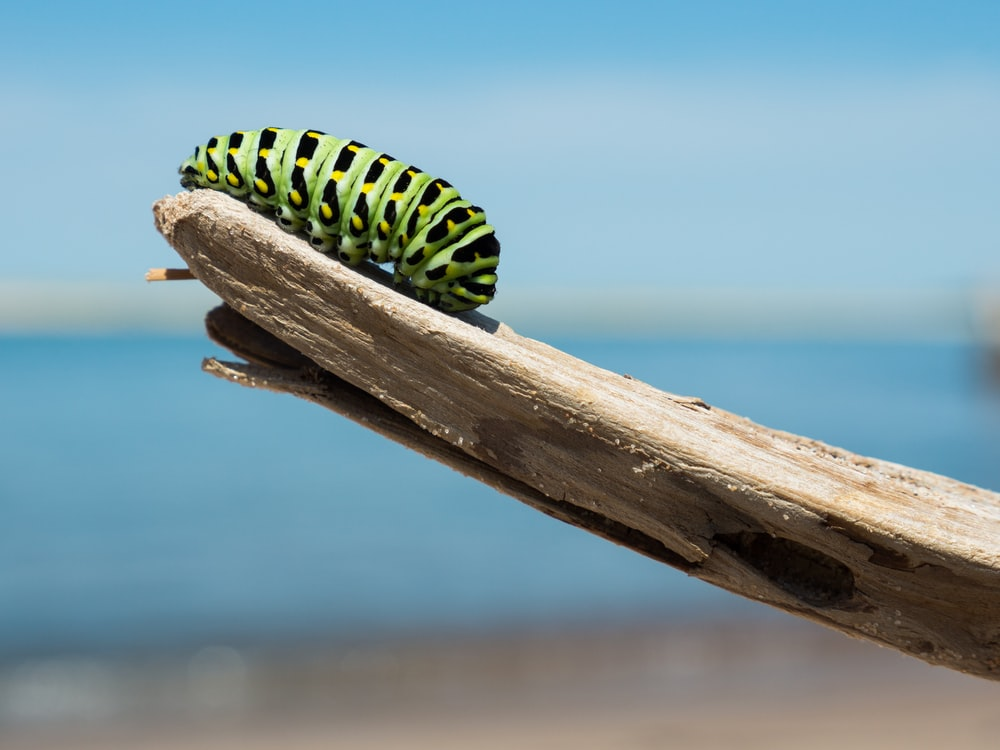 green and black caterpillar on wood