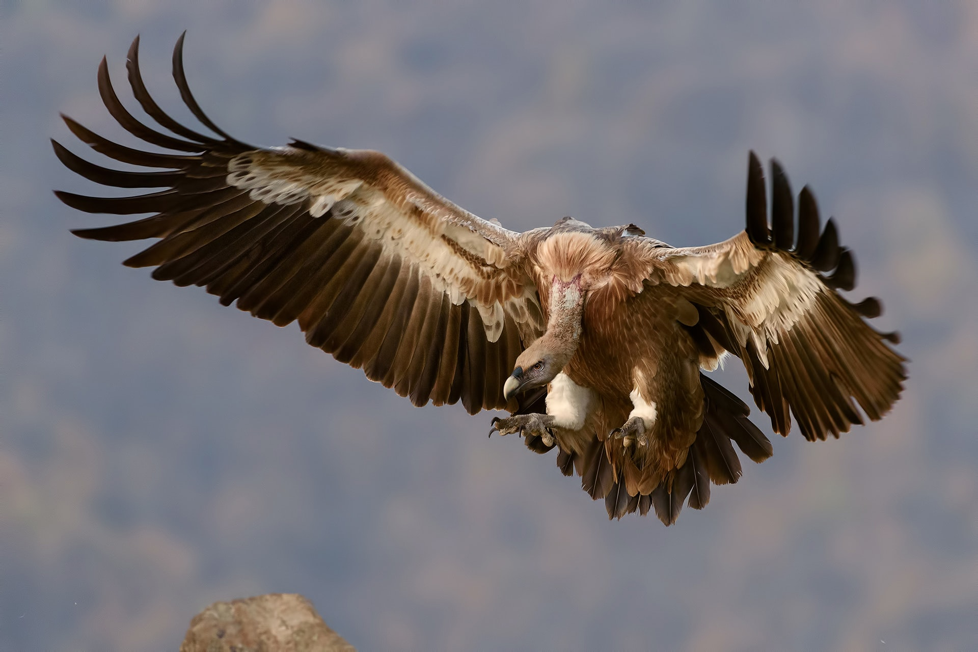 brown vulture flying during daytime
