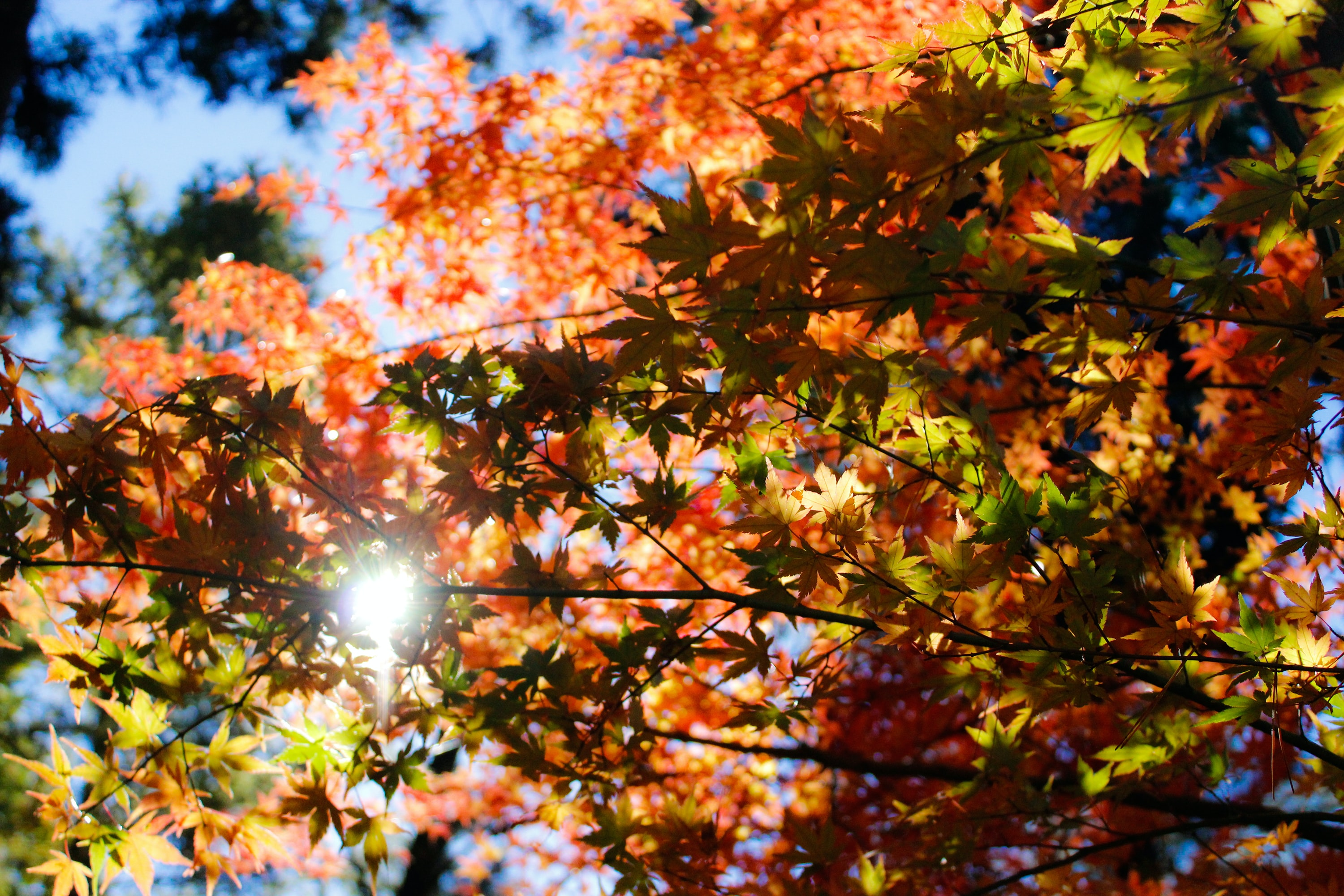 maple tree under clear skies at daytime