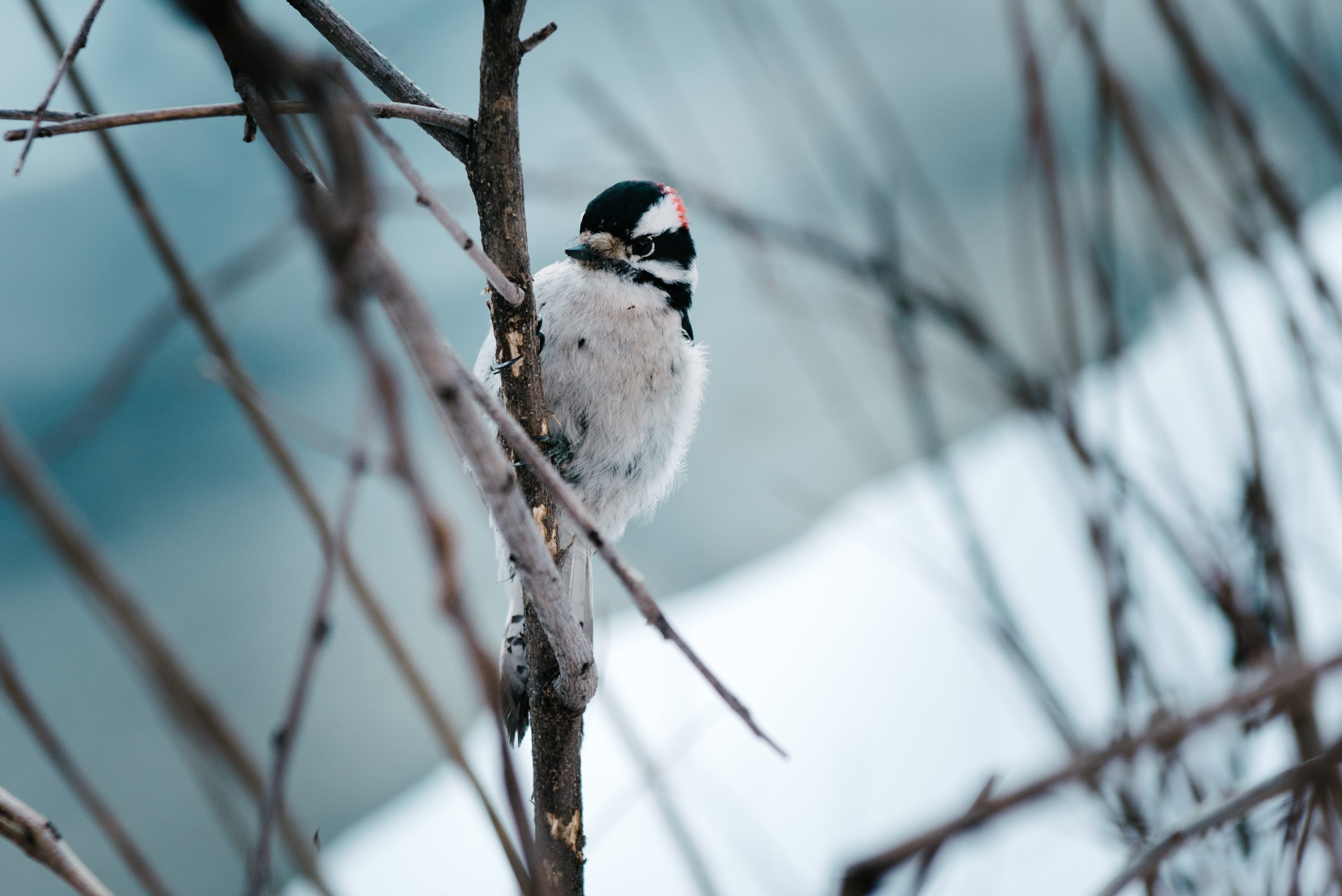 A black and white bird perches on a tree branch with snow in the background