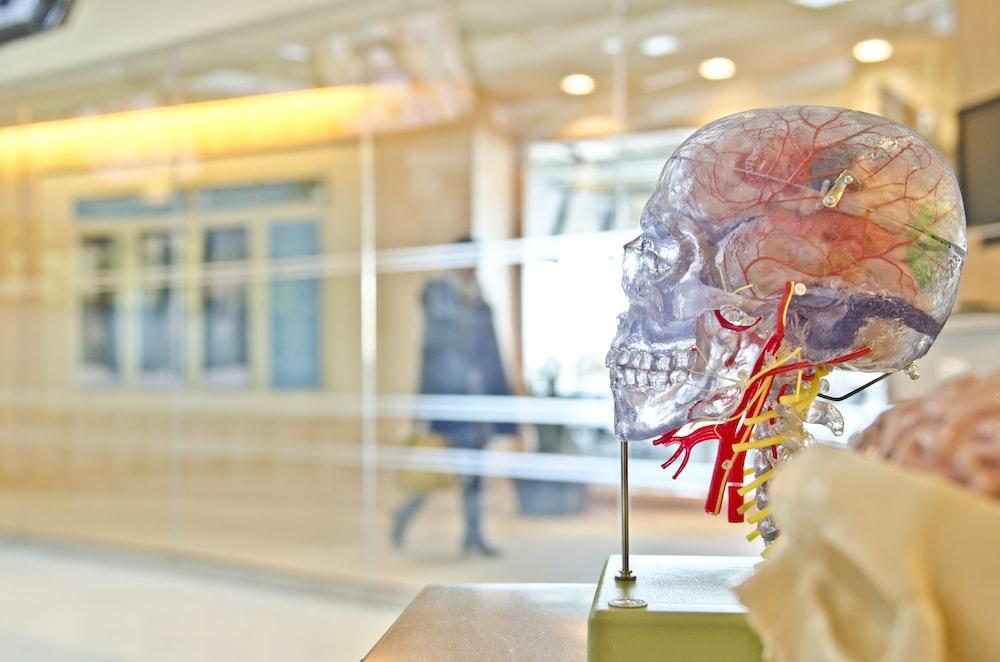 A transparent skull model in a corridor