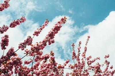 cherry blossom tree flowers zoom background