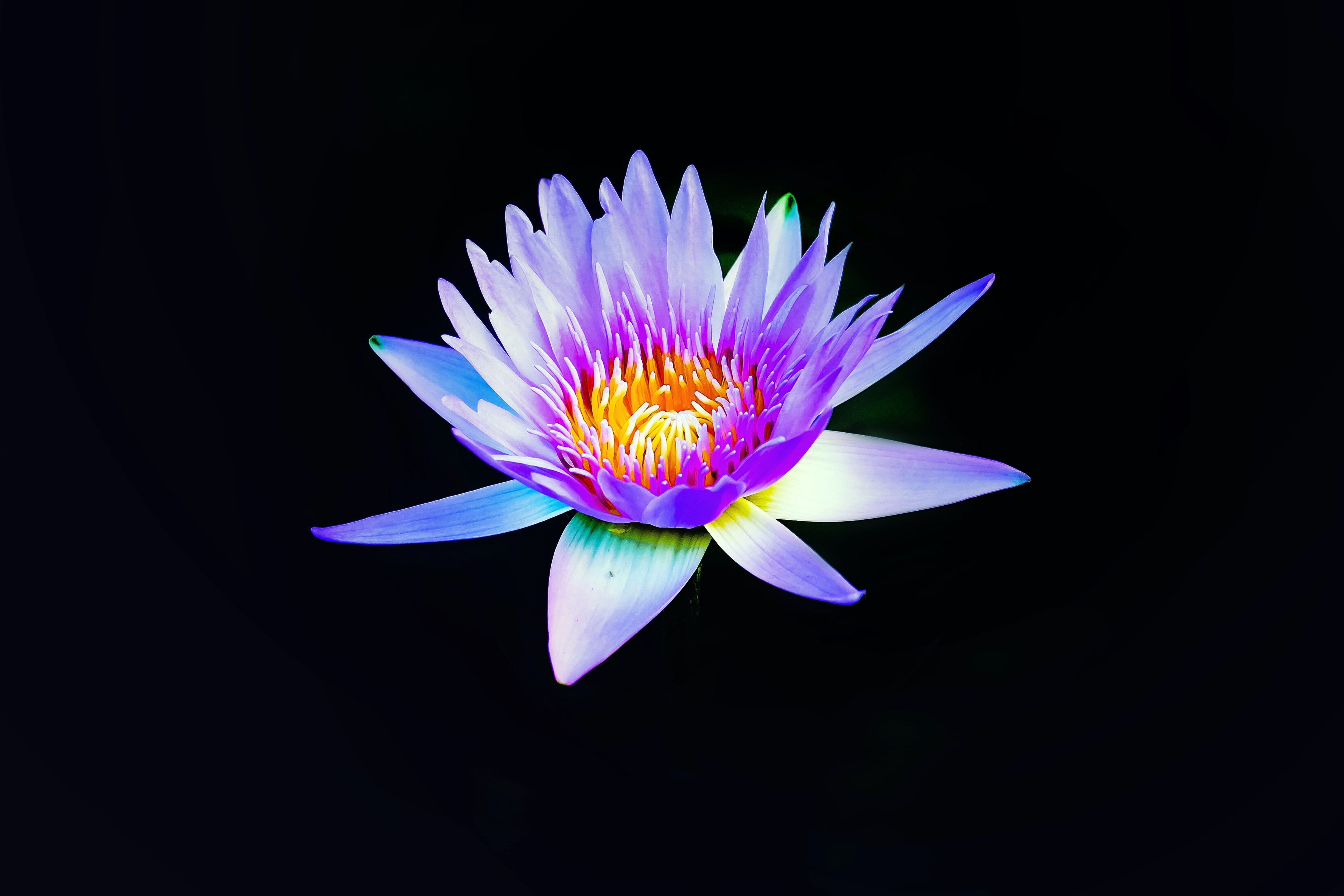 A violet water lily against a black background
