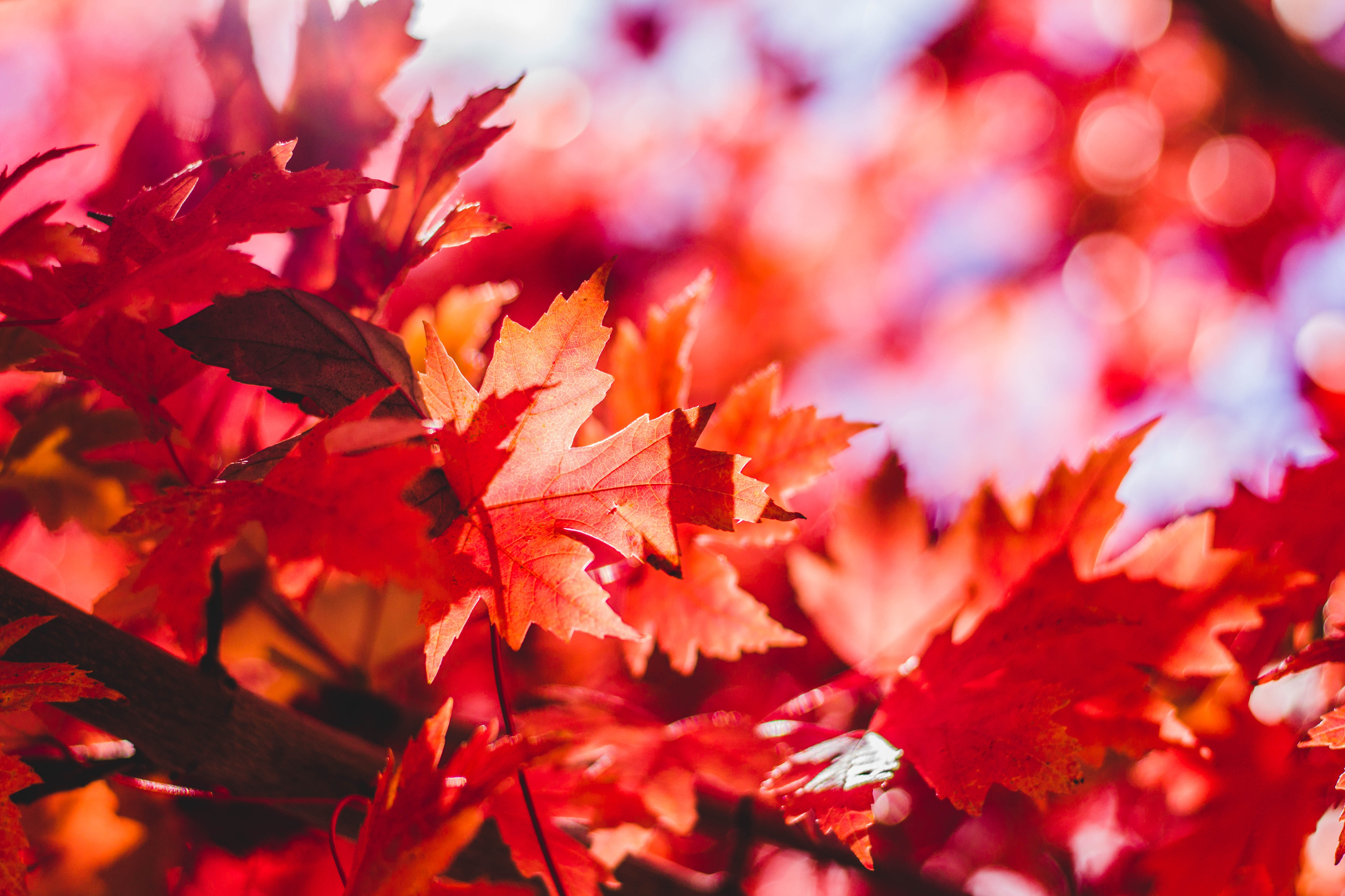 leafe red leaf maple branch autumn fall tree nature au wallpaper color amazing