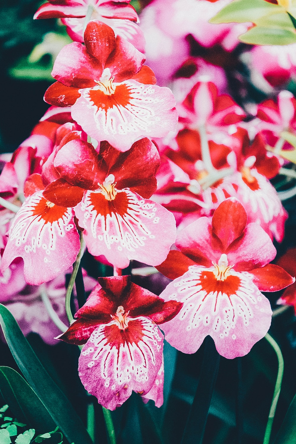 pink moth orchids