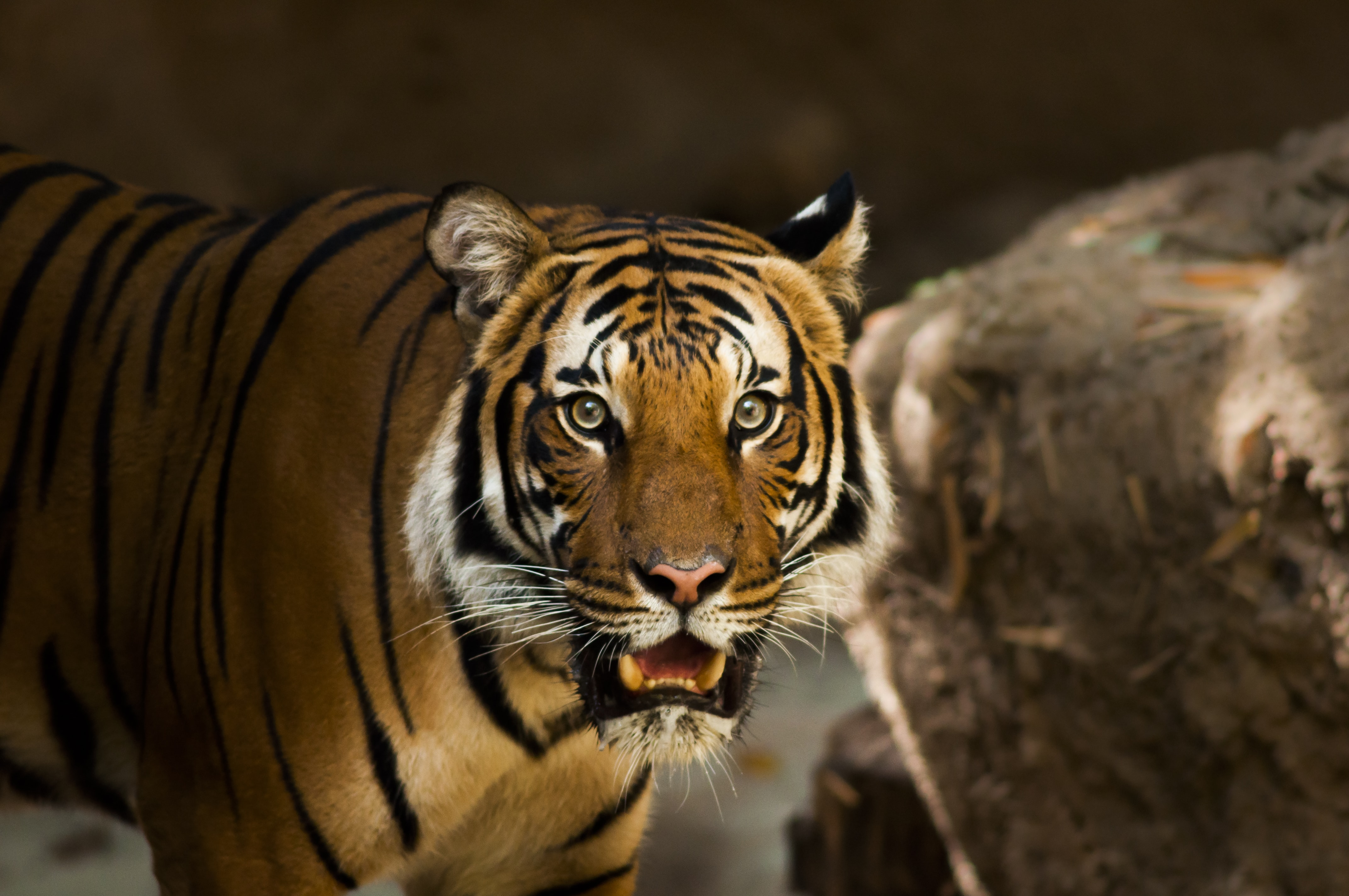 A tiger baring its teeth