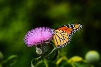 tilt-shift lens photography of butterfly on a pink flower