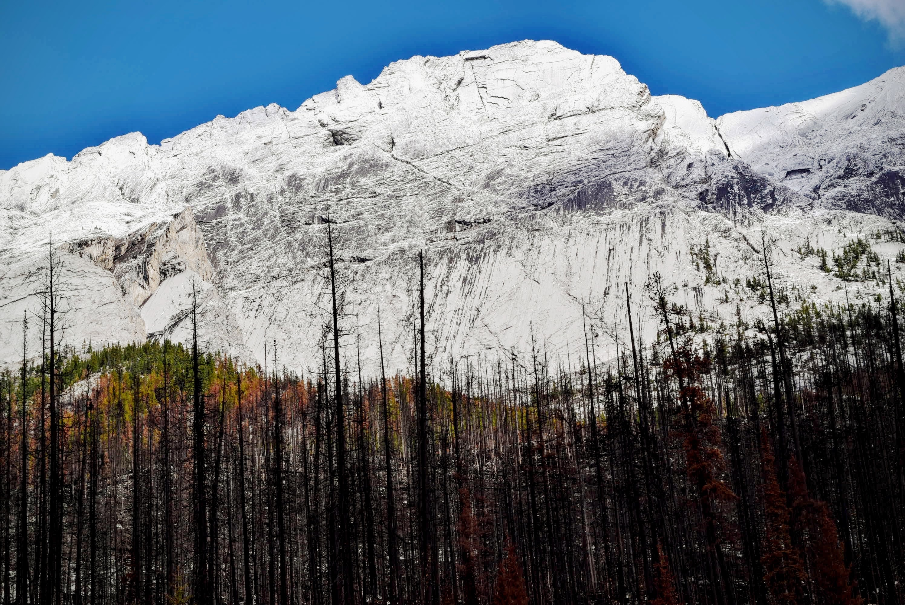 Bare trees near a steep white rock face in Jasper National Park