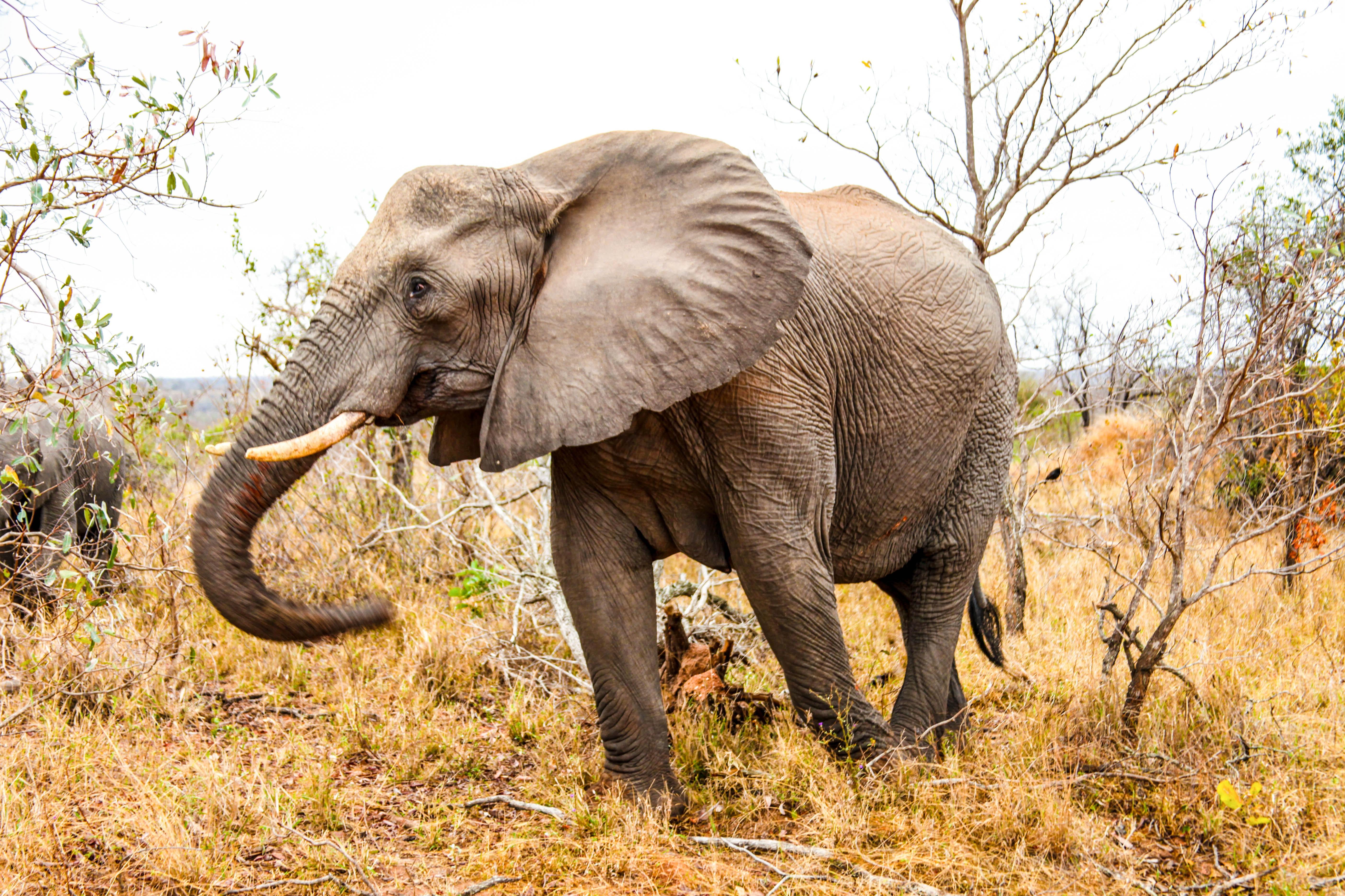 An elephant walking around.