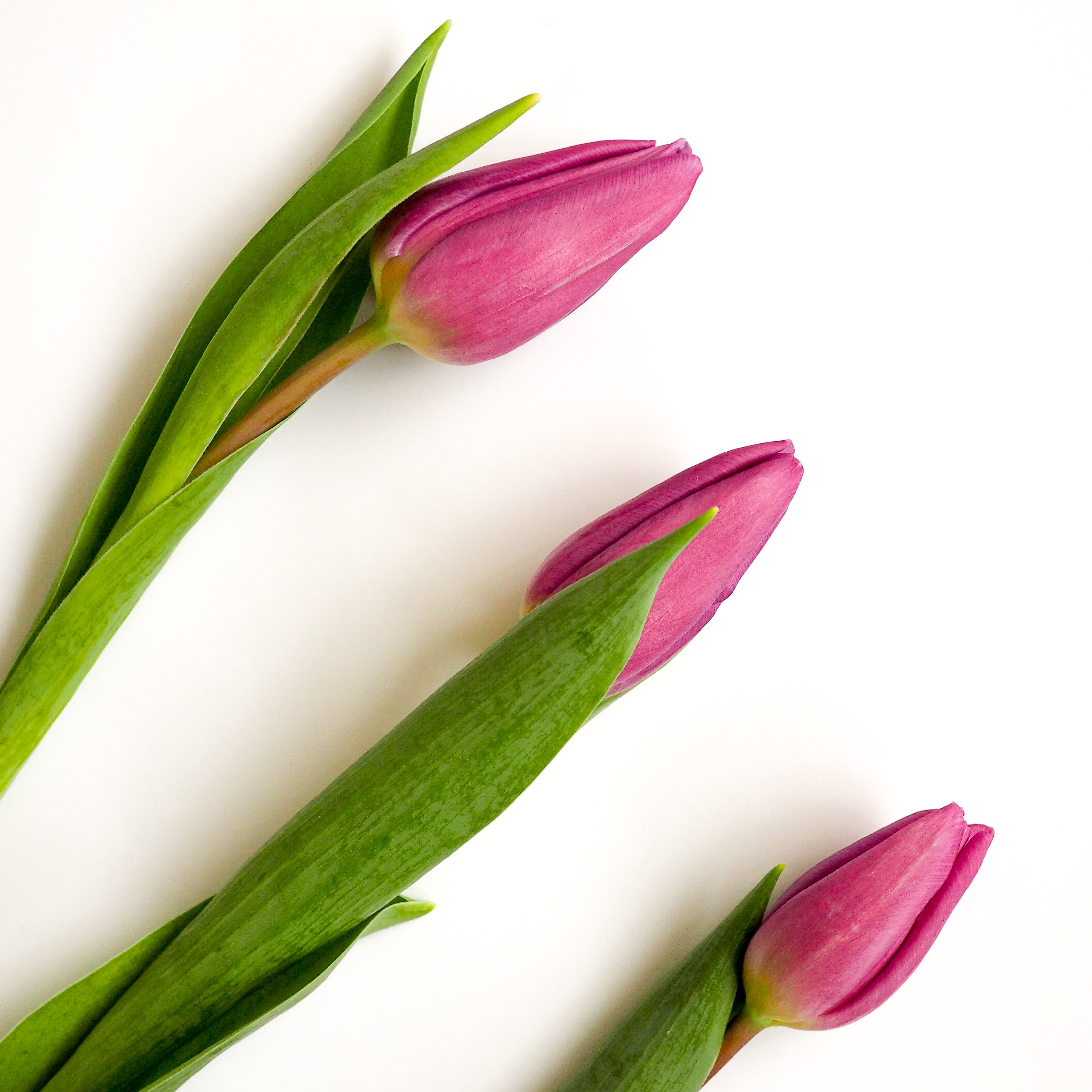An overhead shot of three purple tulips on a white surface