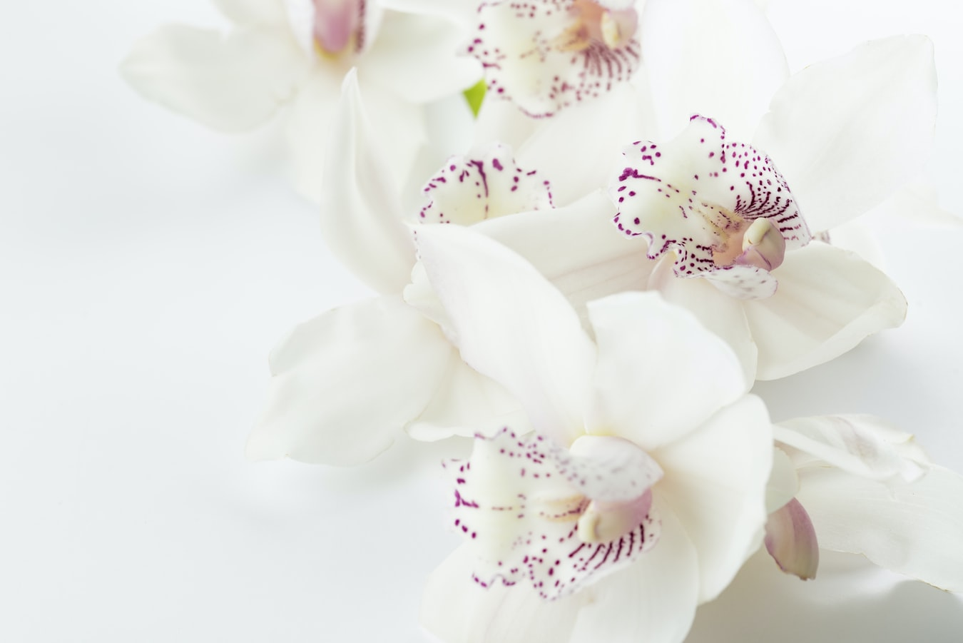 Close-up of white orchids with purple spots on a white surface