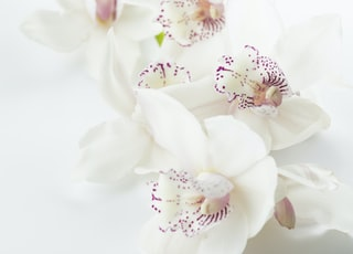 white-and-purple orchid flowers