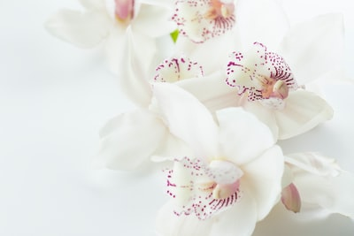 white-and-purple orchid flowers floral teams background