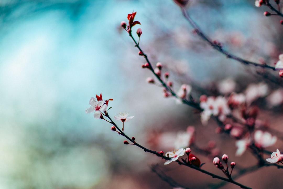 cherry-blossom-focus-seattle
