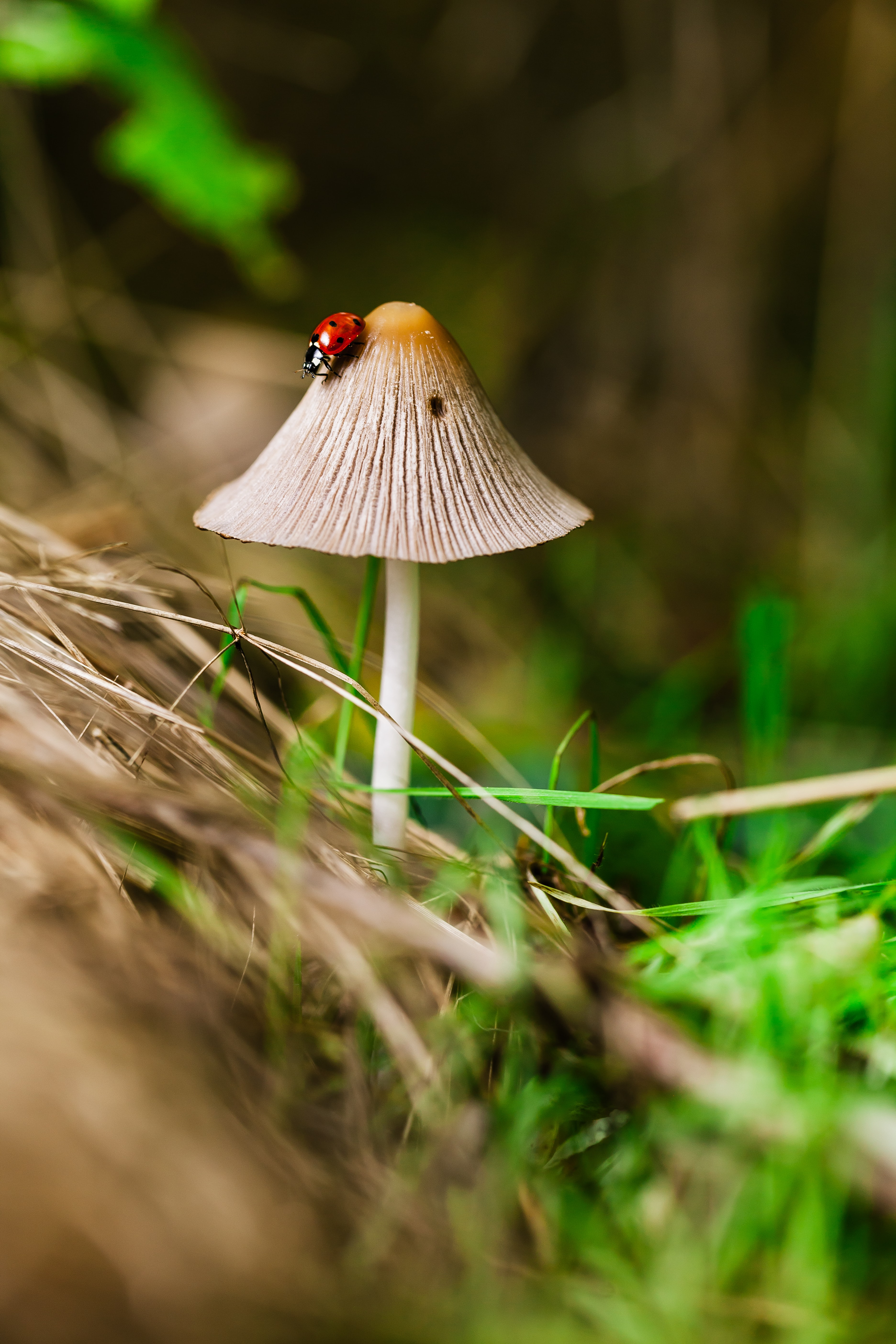 Ladybug climbs down a wild mushroom in the forest