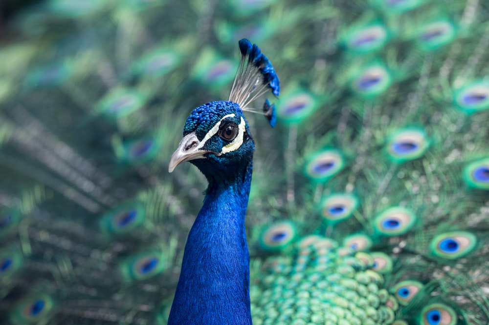 Proud peacock displays its colorful blue and green feathers