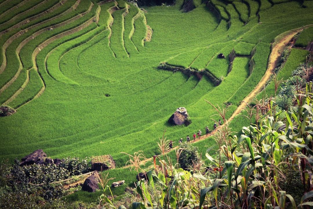 Horchata: Das Trendgetränk mit langer Geschichte (Reisfeld)