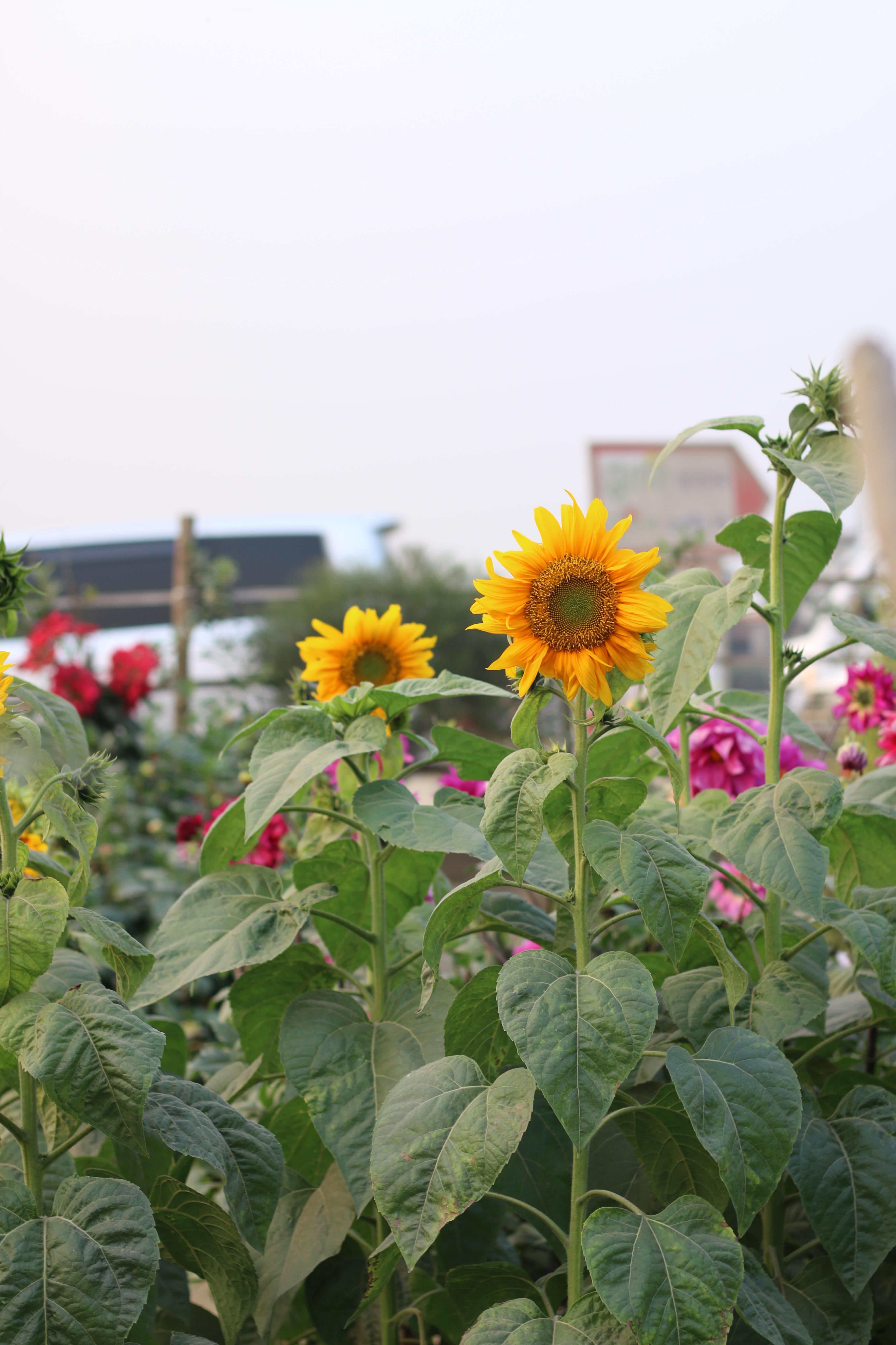 Sunflowers in a garden full of flowers
