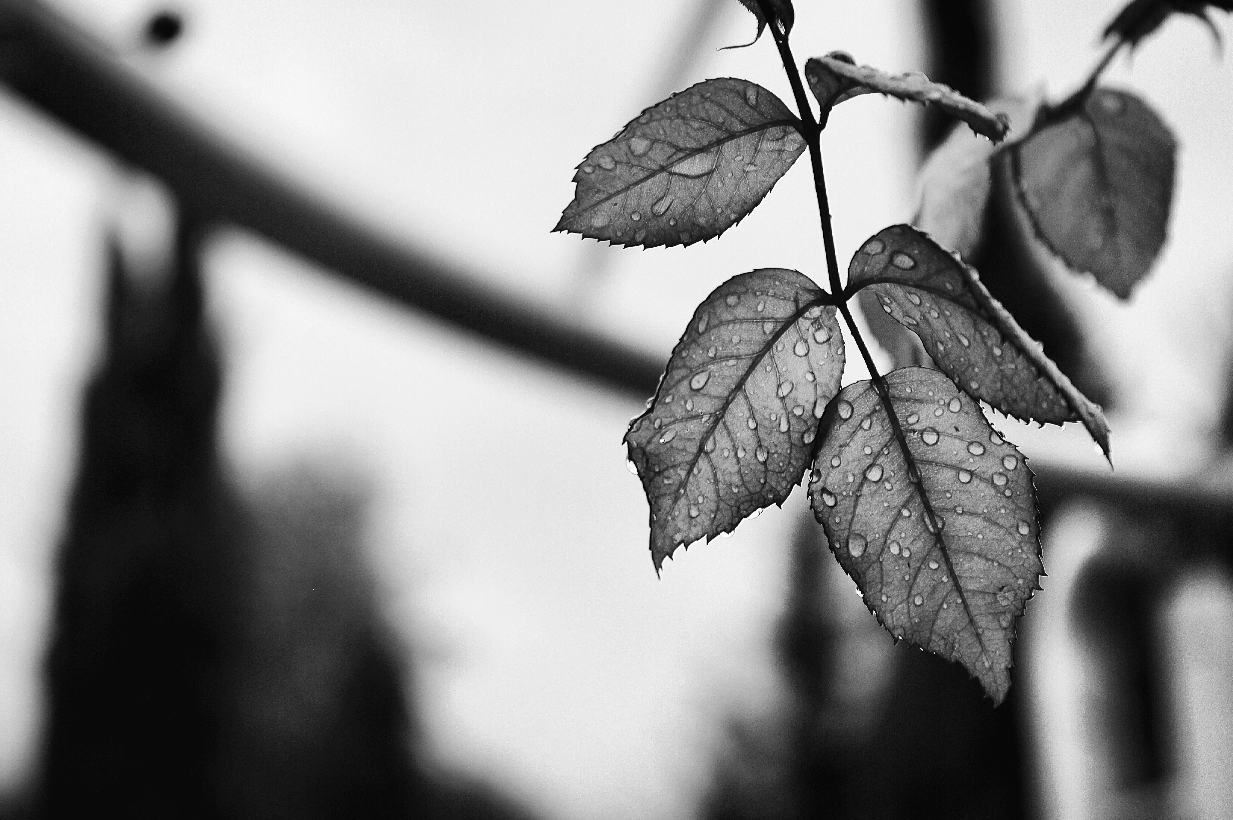 grayscale photography of leaves