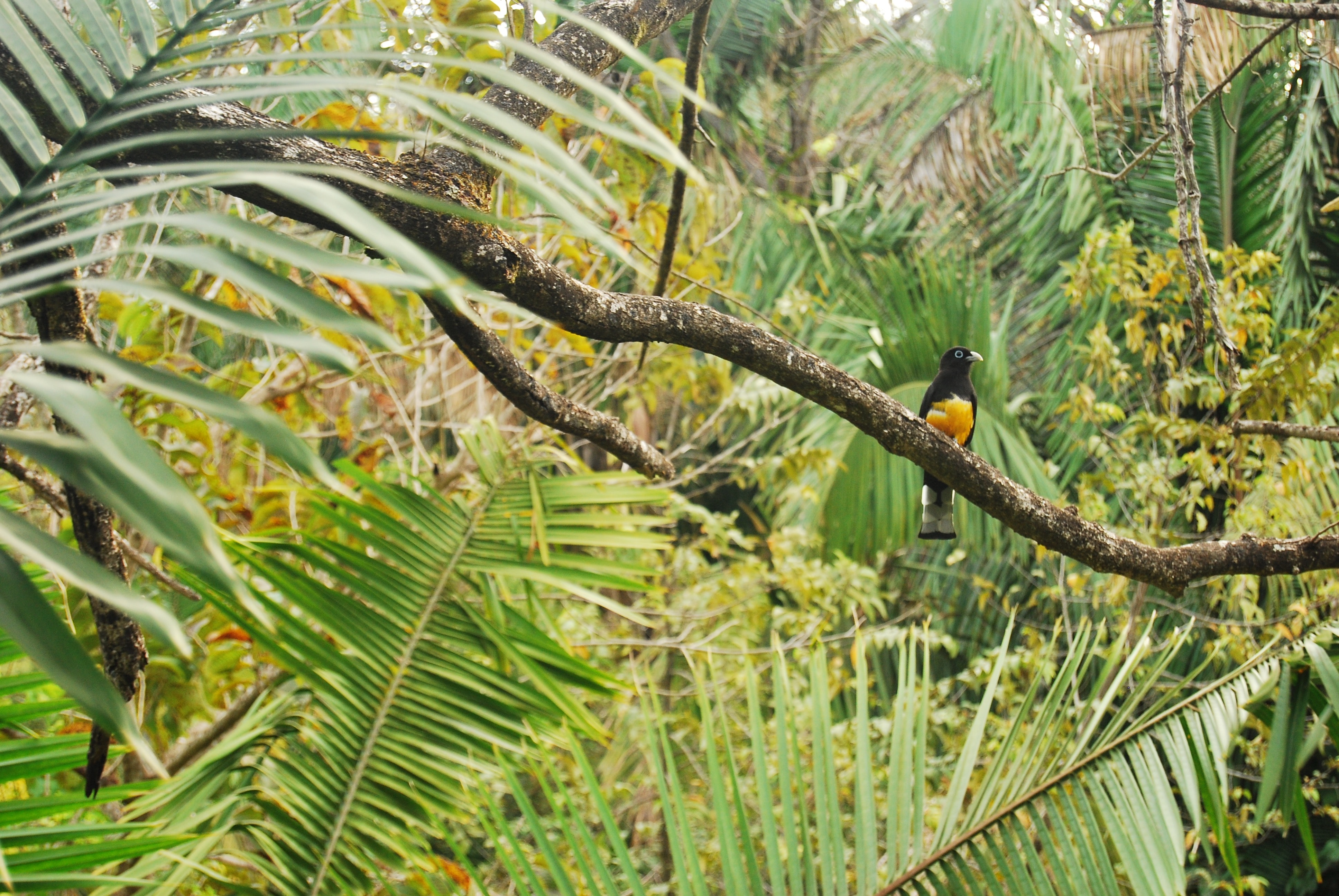 A yellow and black bird perched on a branch in a tropical forest