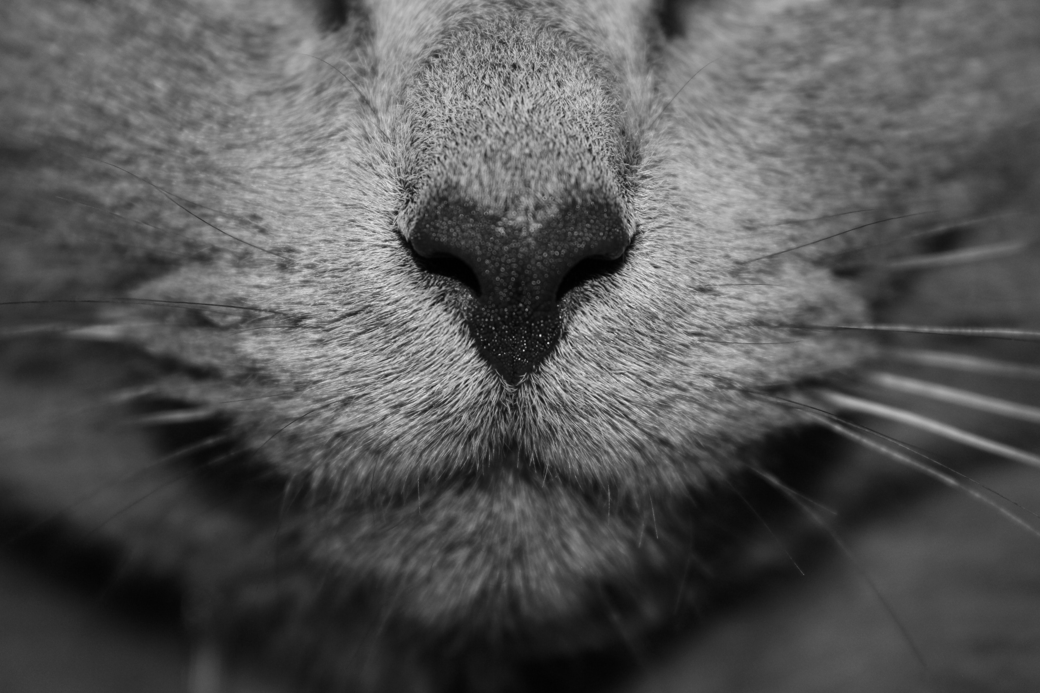 A black-and-white macro shot of a cat's nose