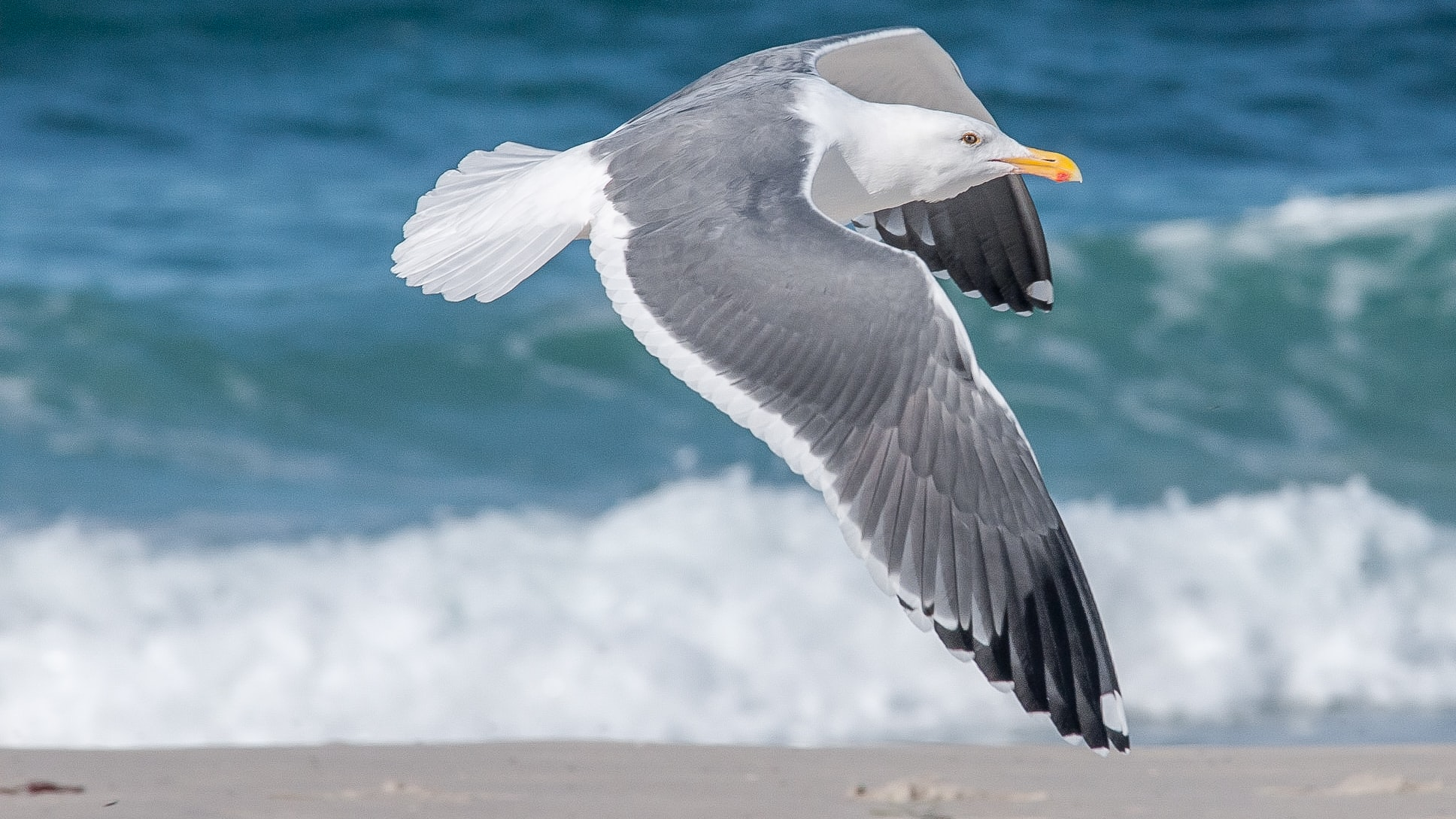 Seagull flying above the sandy beach by the ocean at Asilomar Beach