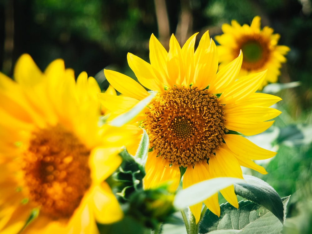 yellow sunflower selective focus photography