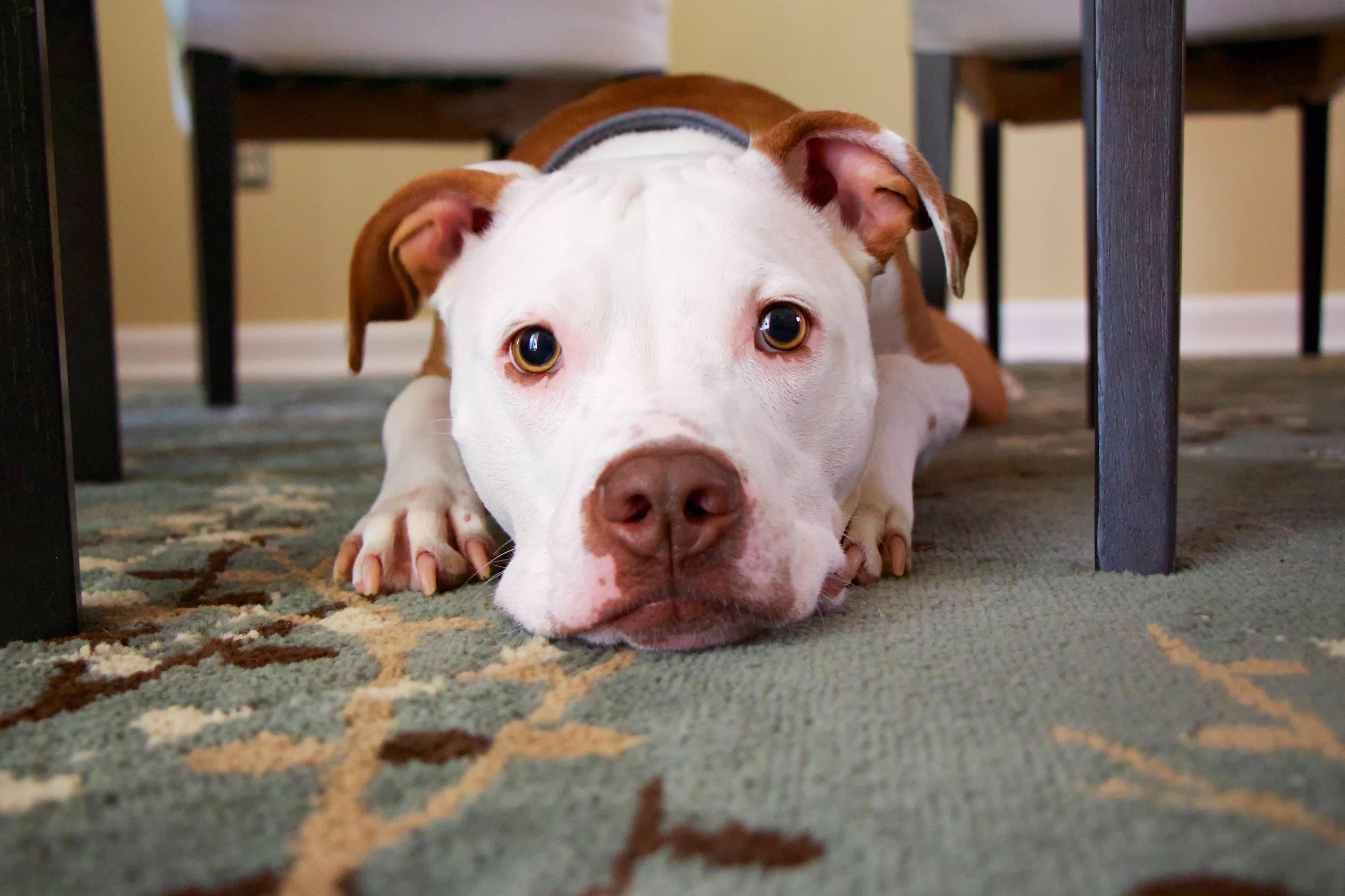 dog laying on area rug