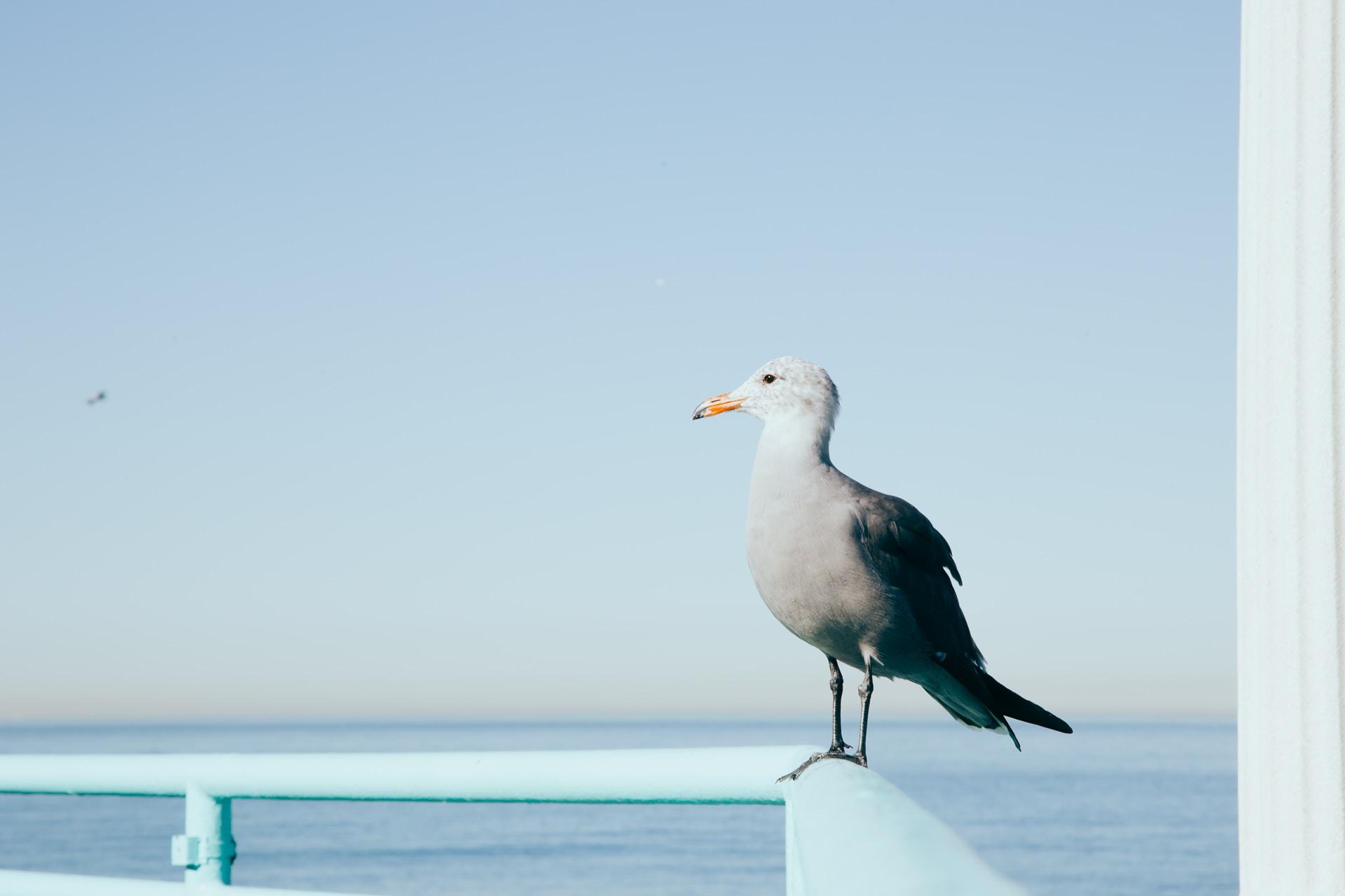 Seagull sitting on a railing at Manhattan Beach