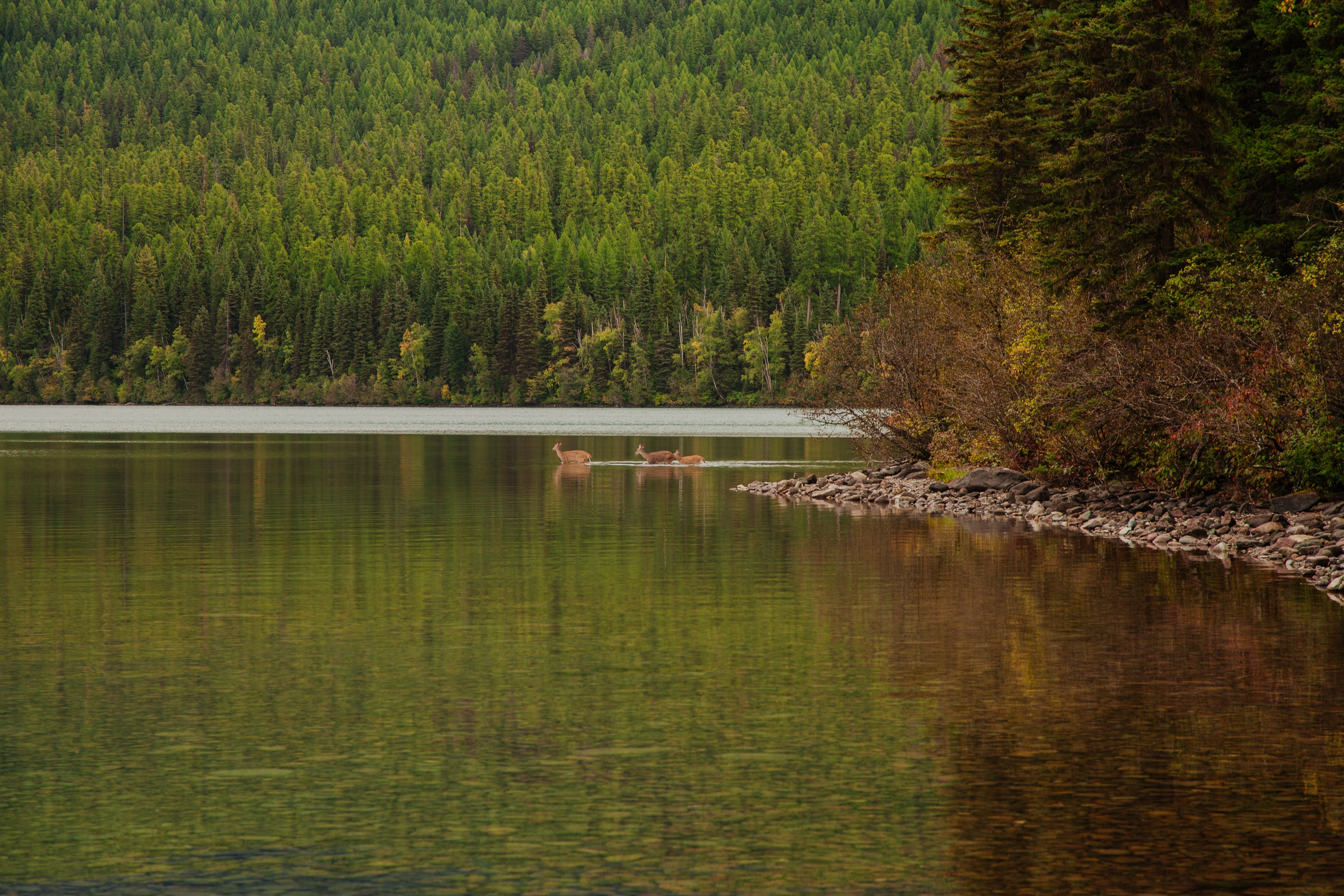 Three deers wading in a lake in Glacier National Park