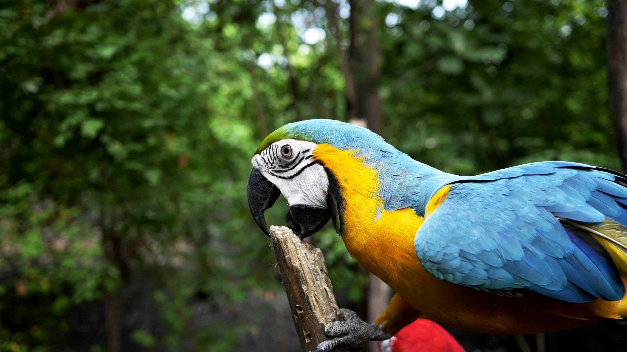 A blue and yellow parrot biting a stump of wood in a dense, green forest