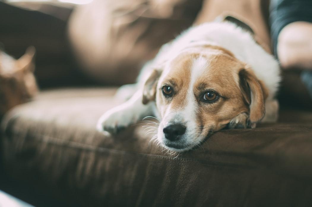 a beagle and furniture