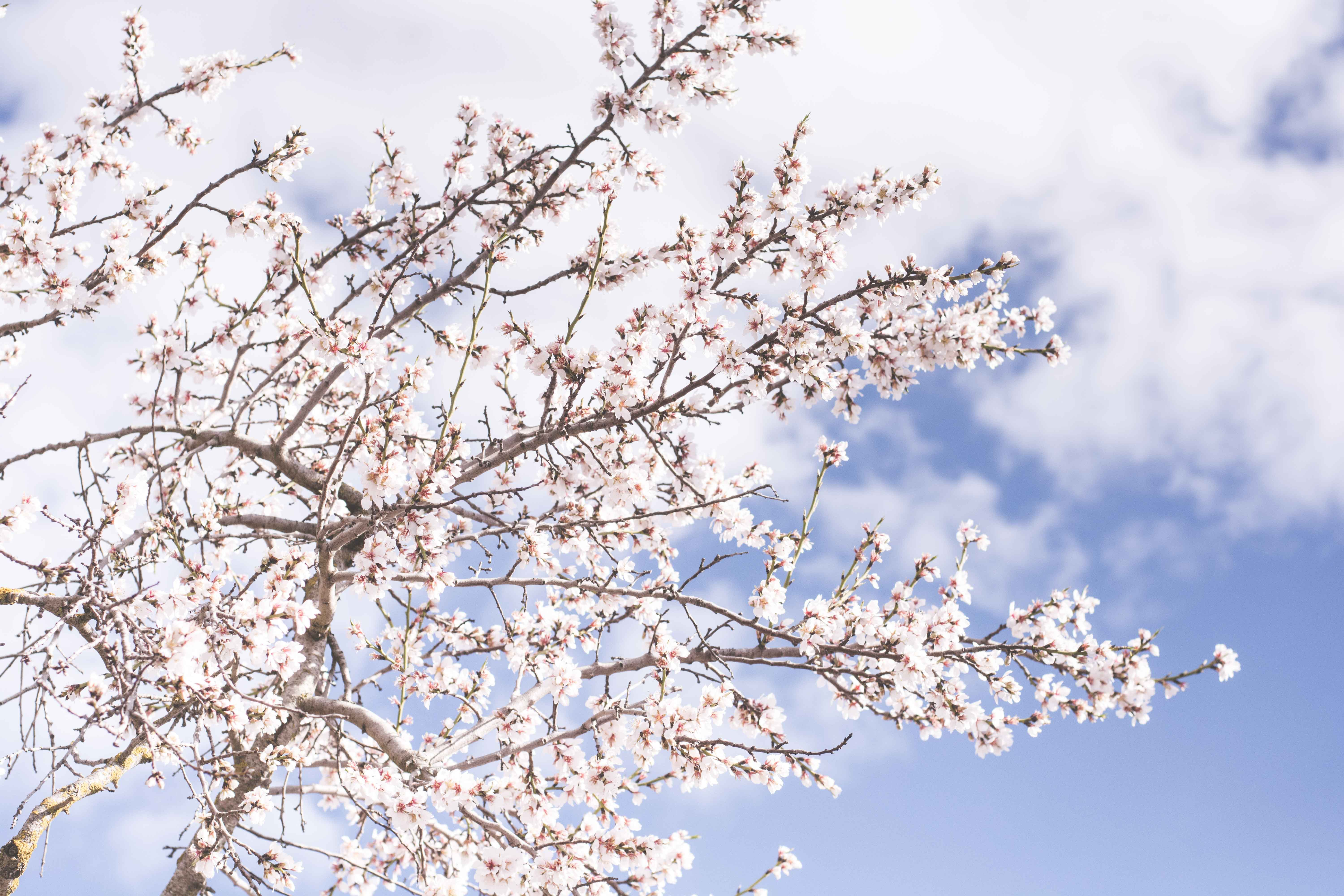 Cherry blossom tree from afar with cloudy blue sky in Spring, Òdena