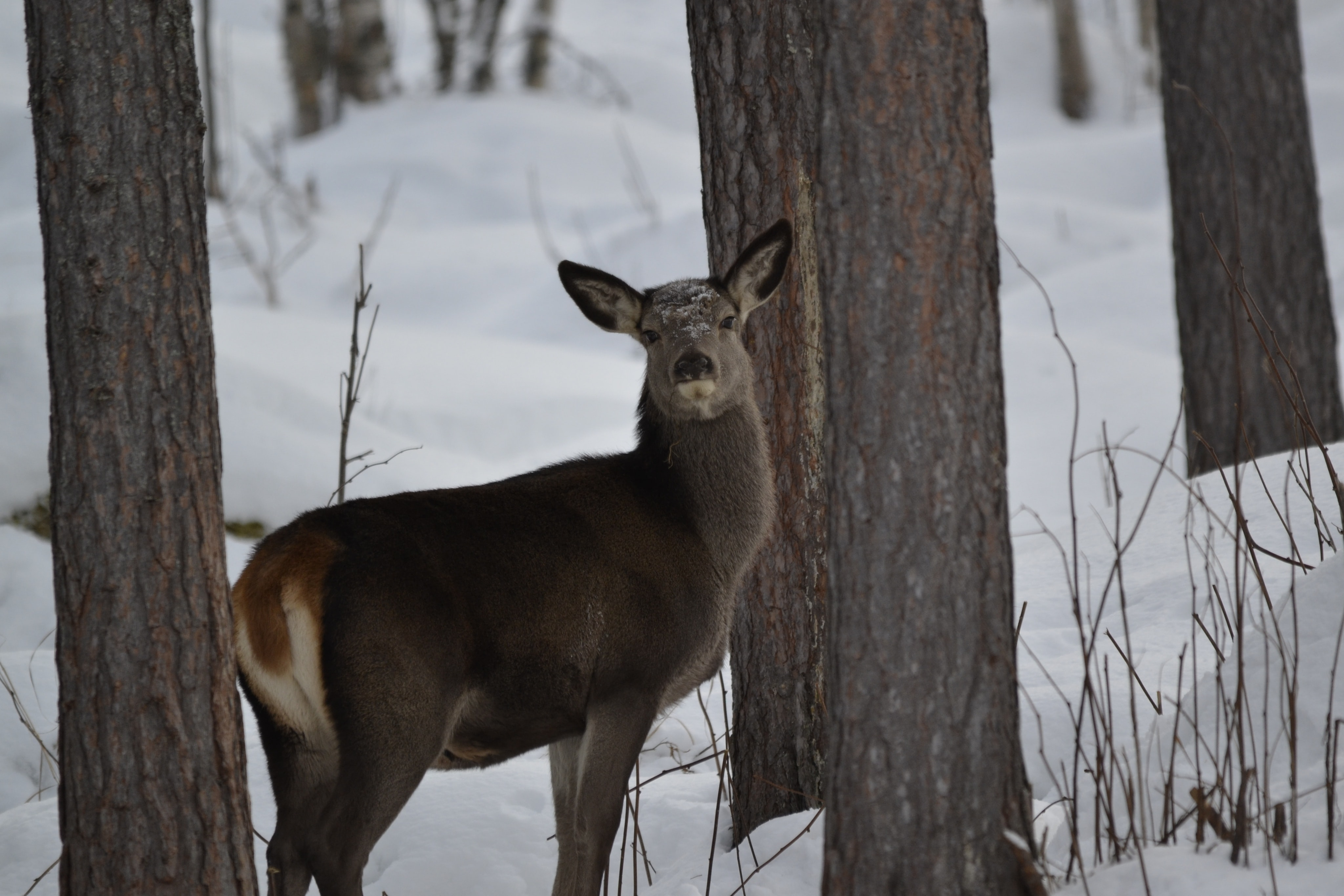 A deer stopped in its tracks in the cold winter forest.
