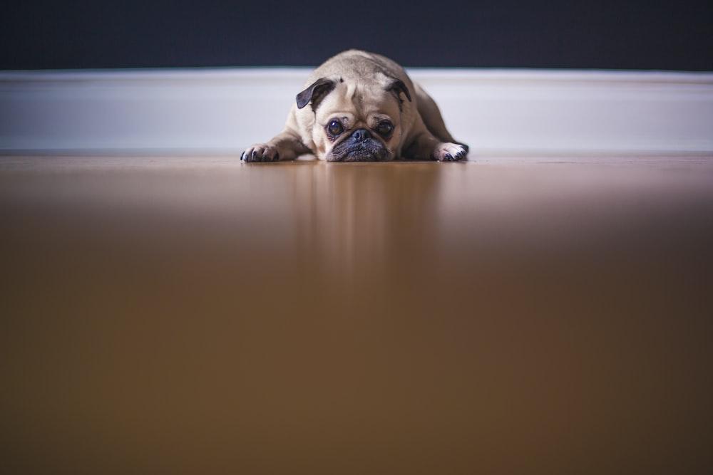 fawn pug lying on floor