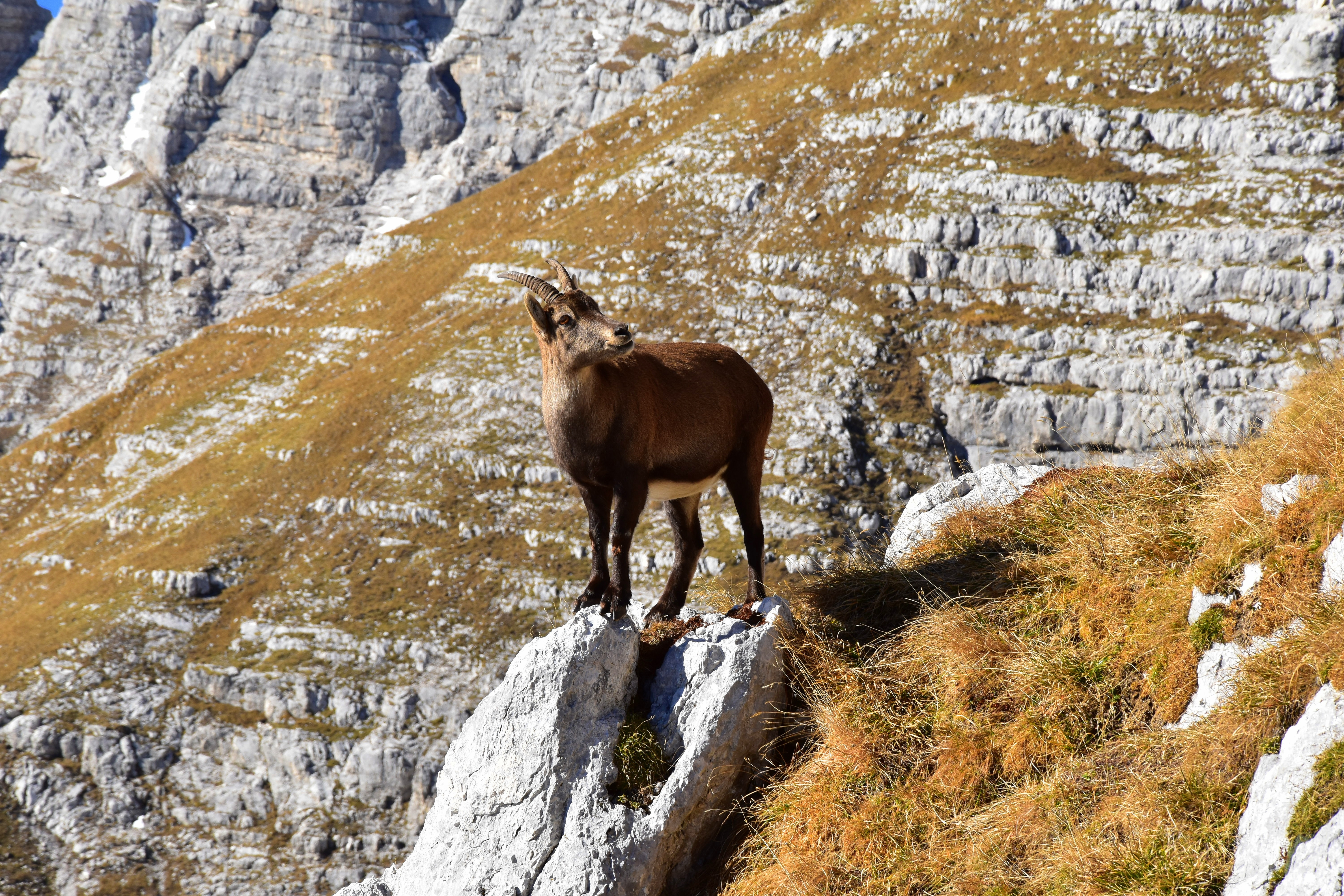 A mountain goat balanced at the edge of a rocky cliff surrounded by vistas of stone mountains